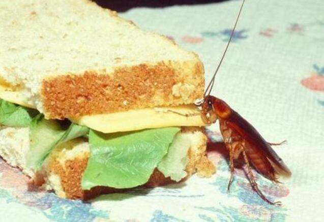 蟑螂为什么不能用脚踩?家里有蟑螂怎么消灭