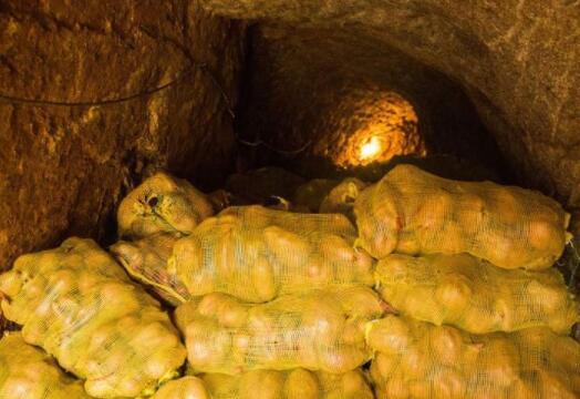 土豆放在地窖中为什么会发芽?