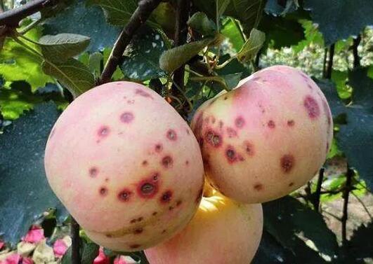 苹果有虫害