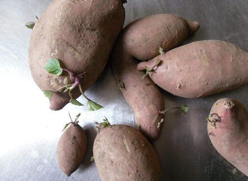 发芽的红薯