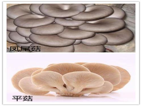 平菇与凤尾菇的区别