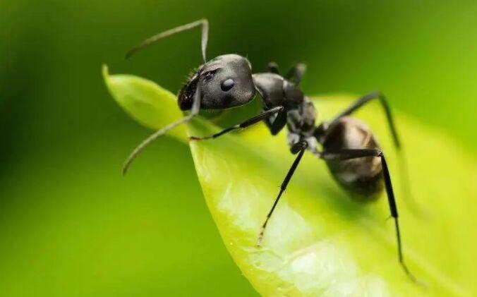 家里有蚂蚁怎么办能除根吗?如果预防家中有蚂蚁?